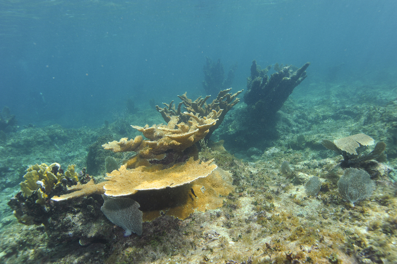 Elkhorn Coral and Blade Fire Coral.