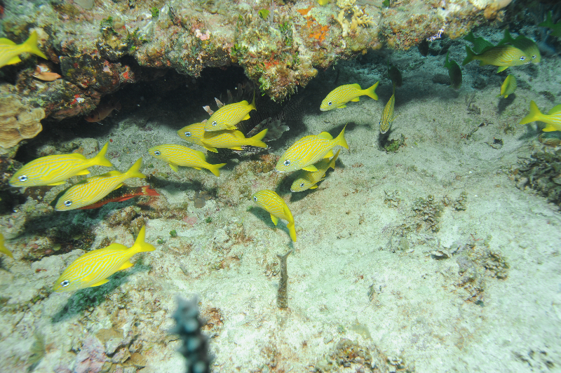 Common Lionfish, Stoplight Parrotfish, and Blackbar Soldierfishhide behind a group of French Grunts.