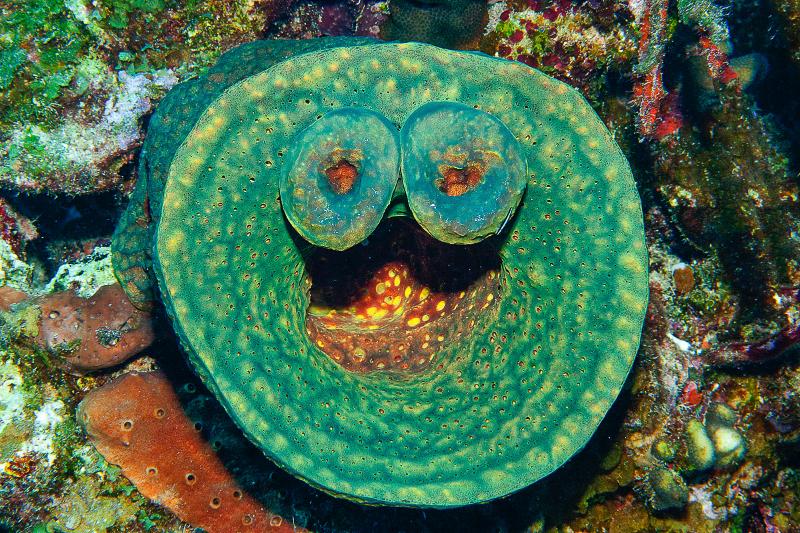 Convoluted Barrel Sponge