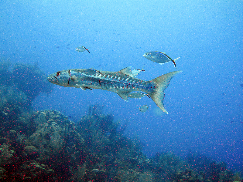 A Great Barracuda and Bar Jacks swim through this reef.