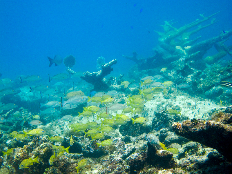 French grunts and Gray Snapper swim among these Elkhorn Coral skeletons.