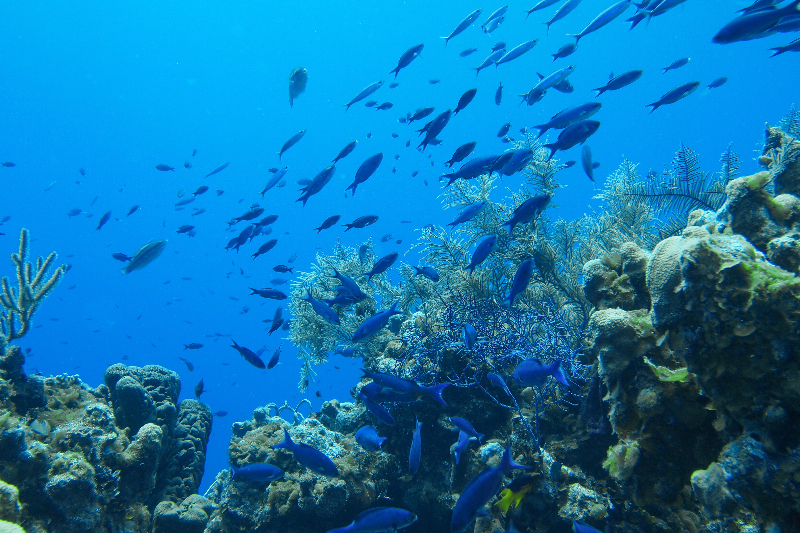 Blue Chromis swim through this reef with juvenile Princess Parrotfish and Spotfin Hogfish.