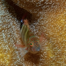 Barred Blenny