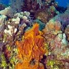 Orange Lumpy Encrusting Sponge