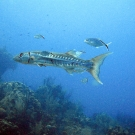 A Great Barracuda and Bar Jacks swim through this reef.