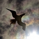 Brown Booby (Sula leucogaster) silhouette as it flies overhead and into the sun.