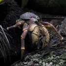 Coconut Crab (Birgus latro) near its burrow among coconut palm roots.