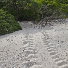 Green Sea Turtle (Chelonia mydas) tracks to the nest at the treeline.
