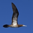 Profile of Brown Booby (Sula leucogaster) as it flies by the dive boat.