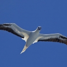 Red-footed Booby (Sula sula) soaring by on a thermal updraft.