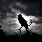 Silhouette of a Red-footed Booby (Sula sula) as the storm clouds roll in.