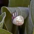 Small hermit--possibly a young Strawberry Hermit (Coenobita perlatus)--inhabiting one of the snail shells.