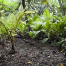 Understory of the coconut palm canopy showing dense thicket of sprouted coconuts.