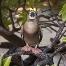 Young Red-footed Booby (Sula sula) stares back inquisitively at the camera.
