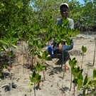 University of the West Indies Discovery Bay Education and Outreach Coordinator, Shanna Thomas, squats to appreciate how much the mangroves have grown since last year.