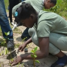 The mangrove propagules are planted about one inch deep in the soil. This student from Holland High School makes sure that her propagule is firmly planted in the ground.