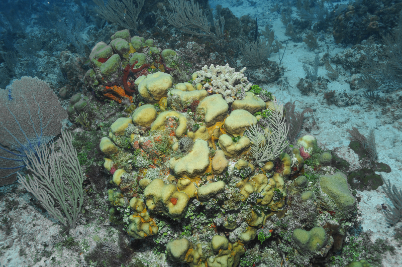 Boulder Star Coral, Finger coral and several types of soft corals, algae, and sponges.