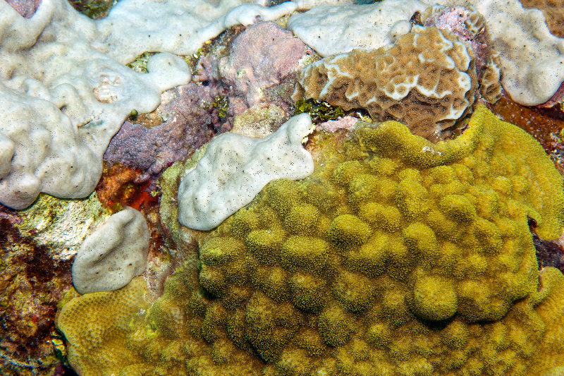 Mustard Hill Coral and Lettuce Coral with encrusting sponge.