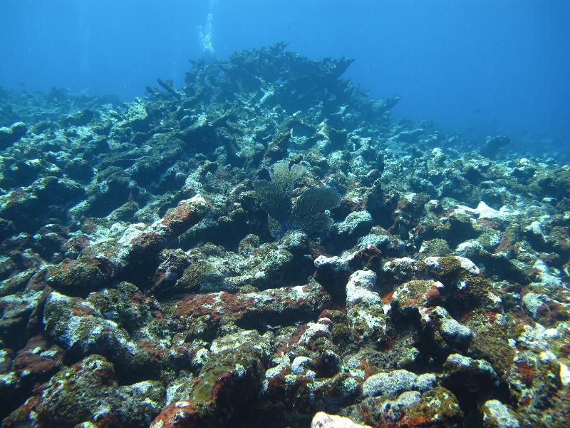Elkhorn Coral skeletons.
