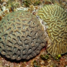 Rough Star Coral on the left and Symmetrical Brain Coral on the right.