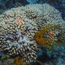Eight-Ray Finger Coral with Golden Crinoid and Blue Chromis.