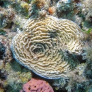 Low Relief Lettuce Coral