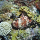 Donkey Dung Sea Cucumber with Maze Coral.