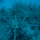 Staghorn Coral nursery.