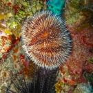 Variegated Urchin