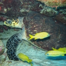 Hawksbill Turtle with French Grunts
