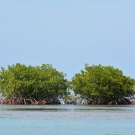 Red mangroves at our new mangrove site at Seville Heritage Park in St. Ann's Bay.