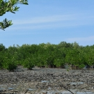 Red mangroves near the waters edge at the Falmouth mangrove forest.