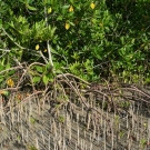 A red mangrove tree with black mangrove pneumatophores (looks like sticks) popping out of the ground.