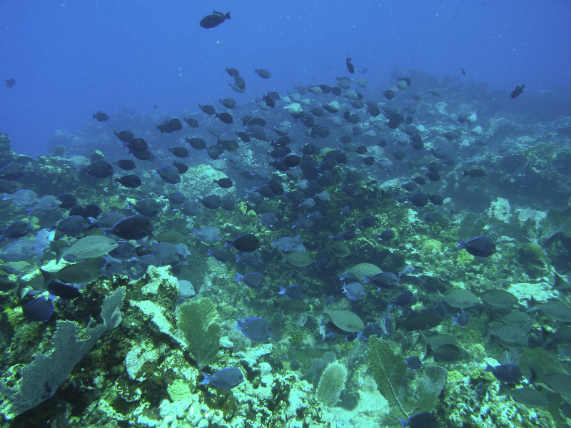 Ocean Surgeonfish dominate this coralscape.