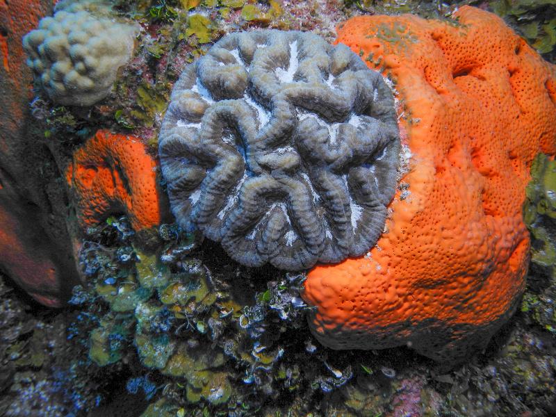 Sinuous Cactus Coral