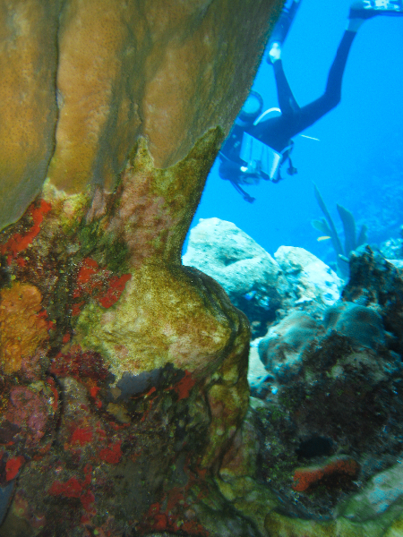A member of the science team conducts a survey behind Elkhorn Coral.