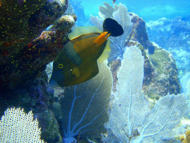 Whitespotted Filefish in orange phase.