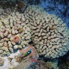 Smooth Flower Coral
