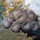 Atlantic Mushroom Coral