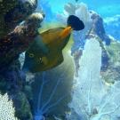 Whitespotted Filefish in orange phase.