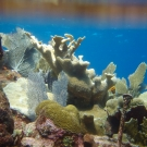 This coralscape contains Elkhorn Coral, Symmetrical Brain Coral, Blade Fire Coral, and Sea Fans.