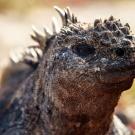 Marine iguanna. (© Andreas Krueger/UNESCO)