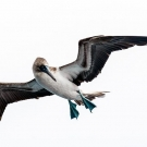 Blue footed booby, the most awesome bird ever. (© Daniel Correia/UNESCO)