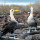 Waved Albatross on the island of Espanola displaying courtship behavior. (© Andreas Krueger/UNESCO)