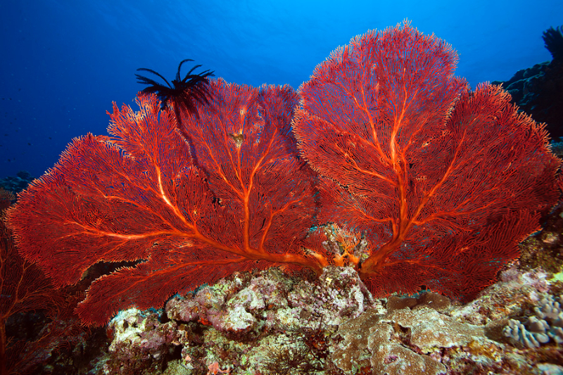 Red sea fans with black feather star