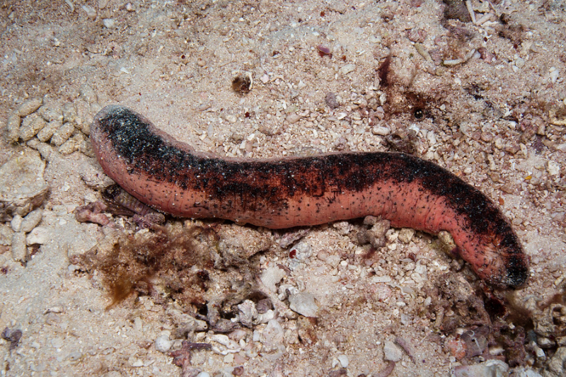Pinkfish Sea Cucumber
