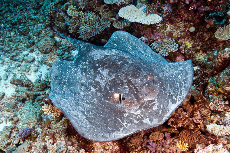 Thorny stingray