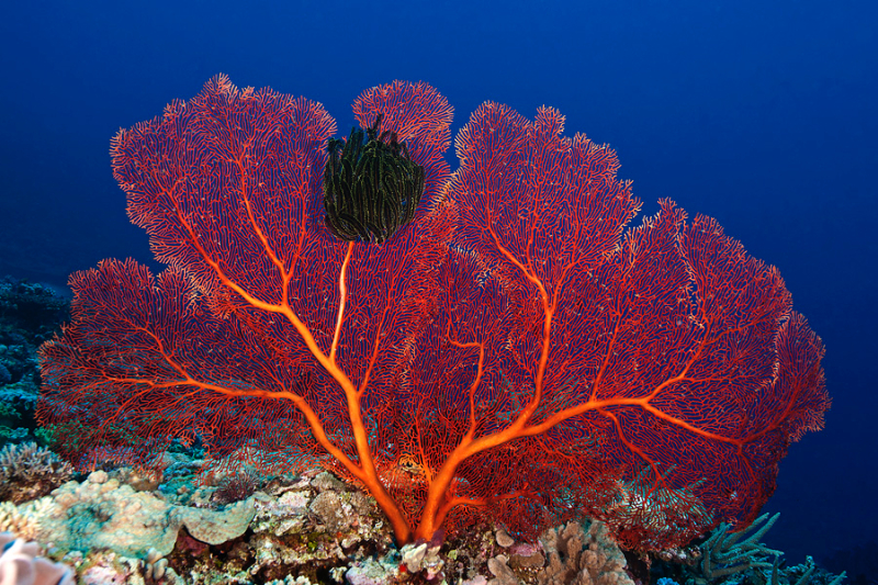 Gorgonian with black crinoid.