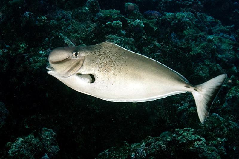 Humpnose unicornfish