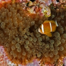 Barrier Reef Anemonefish in Bubble-tip Anemone